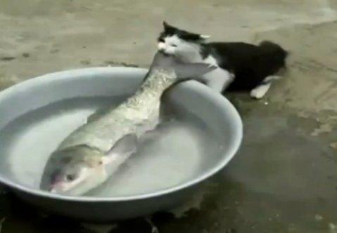 Kedinin balıkla imtihanı -izle