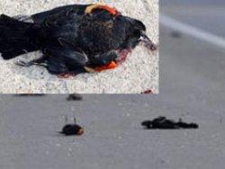 Gizemli kuş ölümlerinin sırrı çözüldü