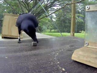 Kargaların muhteşem zekası - Video