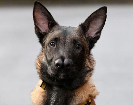 İskoçya'da iki burunlu doğan köpek yuvasına kavuştu