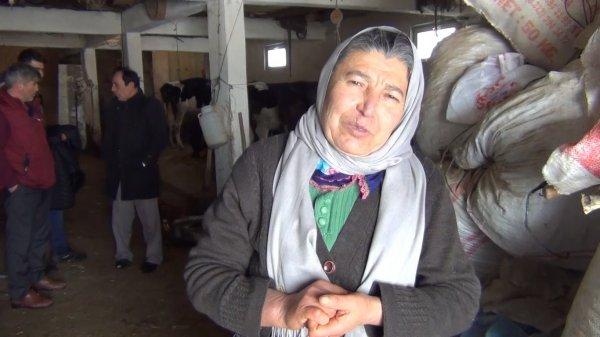 Dolandırılan şehit annesinin inekleri bulundu
