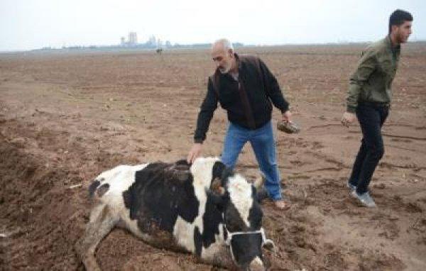 Çaldıkları inekleri bıçakladılar