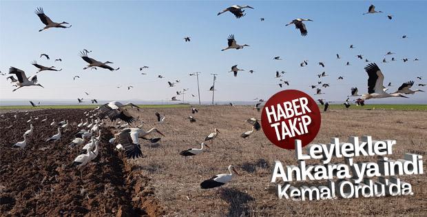Leylekler Ankara semalarında