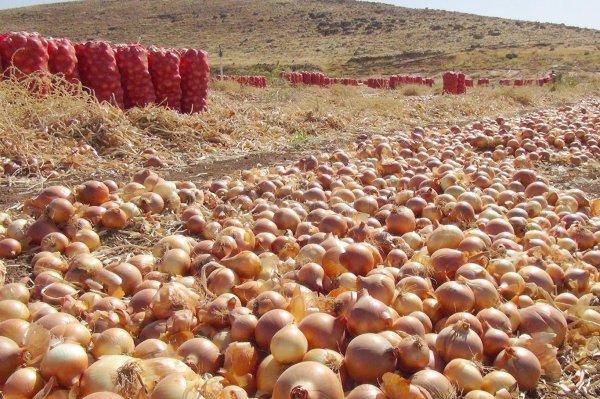 Soğan fiyatları düşmeyecek