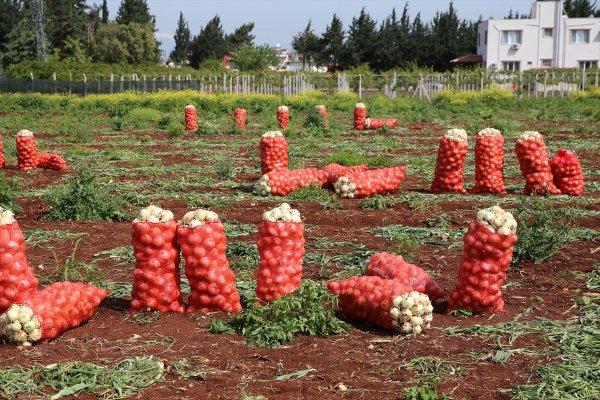 Hatay'da soğan hasadı başladı