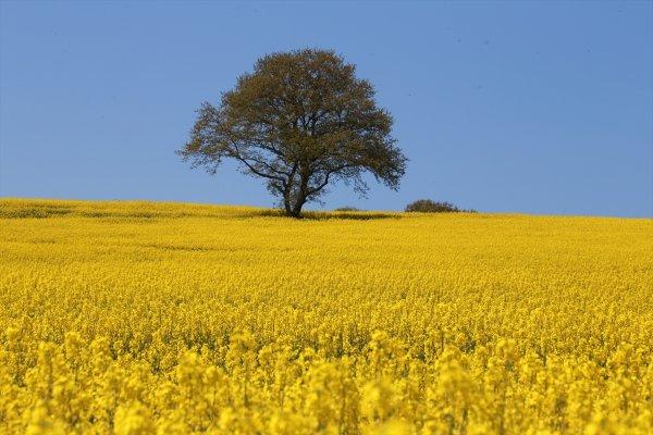 Samsun kanolayla sarıya büründü