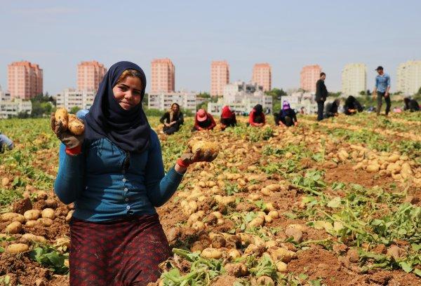 Adana'da patates hasadı başladı