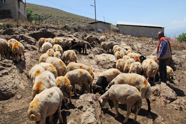 Hatay'da koyun sürüsüne karışan dağ ceylanı