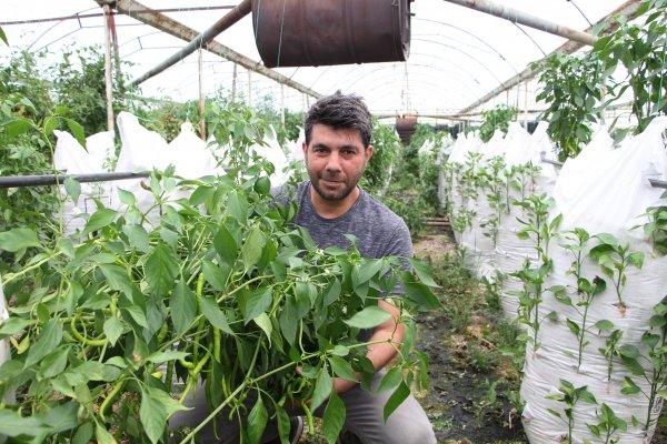 Antalya'nın Aksu ilçesinde yaşayan elektronik mühendisi bir çiftçi, serasına kurduğu çuvallar üzerinde biber yetiştirmeye başladı. ile ilgili görsel sonucu