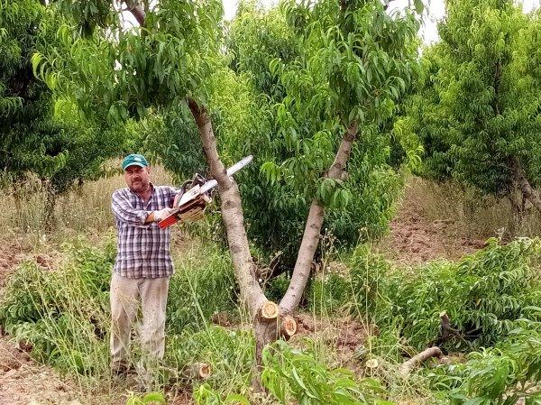 Bursa'da şeftali ağaçları kesiliyor