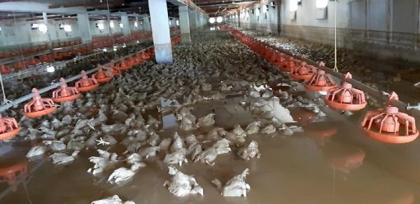 Düzce'deki selde yüz binlerce hayvan can verdi