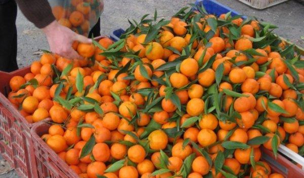 Irak'a mandalina ihracatı da durdu