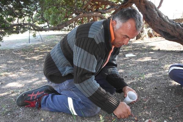 İzmir'de 40 yıl sonra sakız ağacı hasadı: Kilosu 300 euro