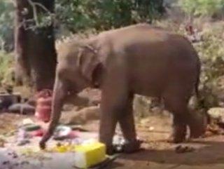Hindistan'da yemek kokusu alan fil, piknik alanına koştu