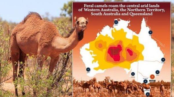 avustralya deve ile ilgili görsel sonucu
