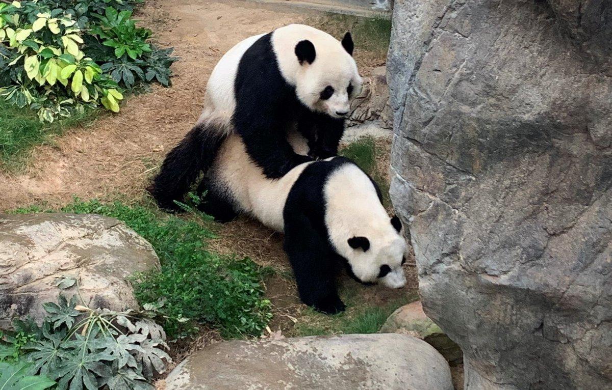 Pandalar 10 yıl sonra çiftleşti