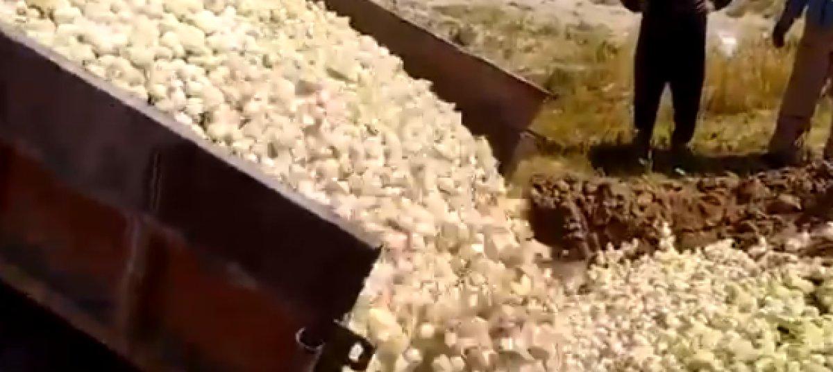 İran'da binlerce civciv canlı canlı gömüldü