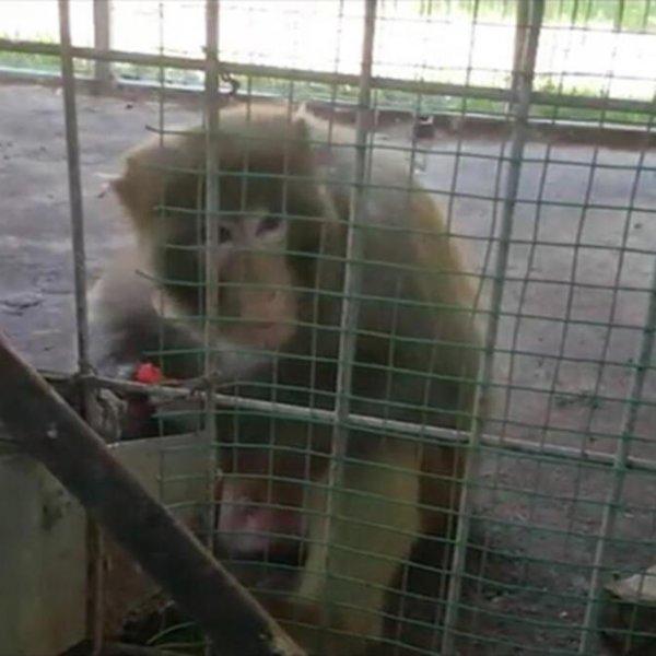 İstanbul'da oto galeride maymunlar operasyonla kurtarıldı