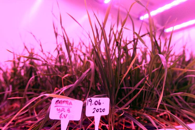 Laboratuarda buğday hasadı 8 aydan 2 aya kadar sürdü 1