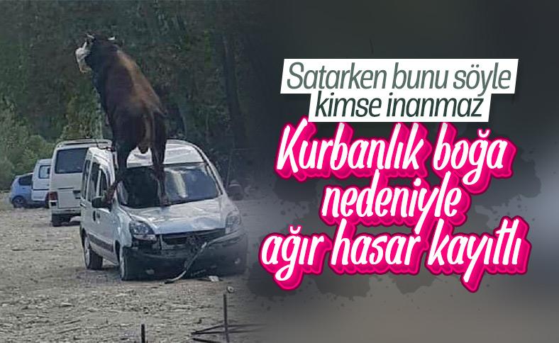 Samsun'da kurbanlık boğa, aracın üstüne çıktı