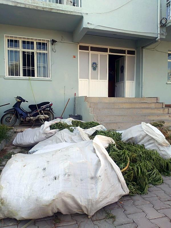 Bergama'da 400 kök Hint keneviri ele geçirildi #2