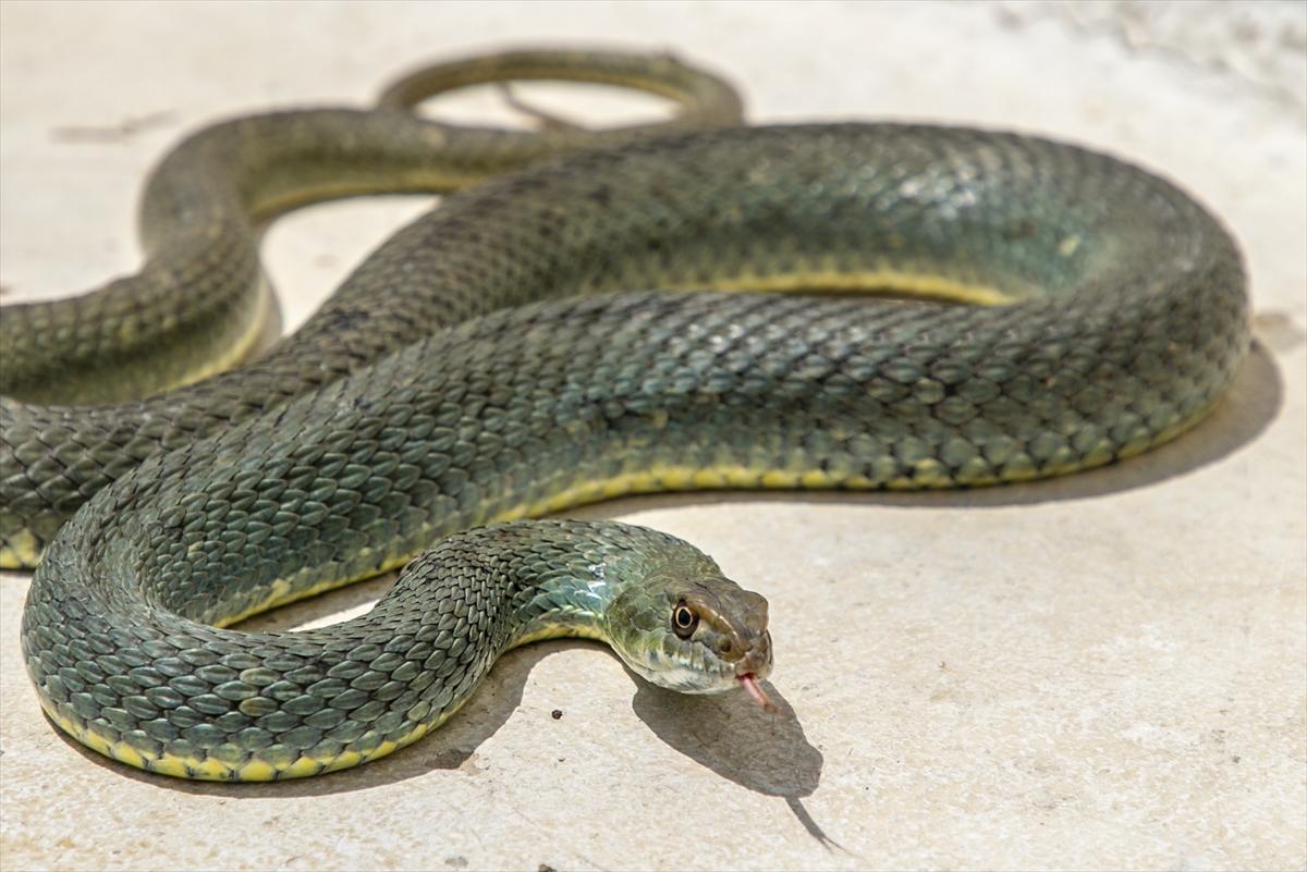 Tunuslu yılan avcısının iş aşkı #10