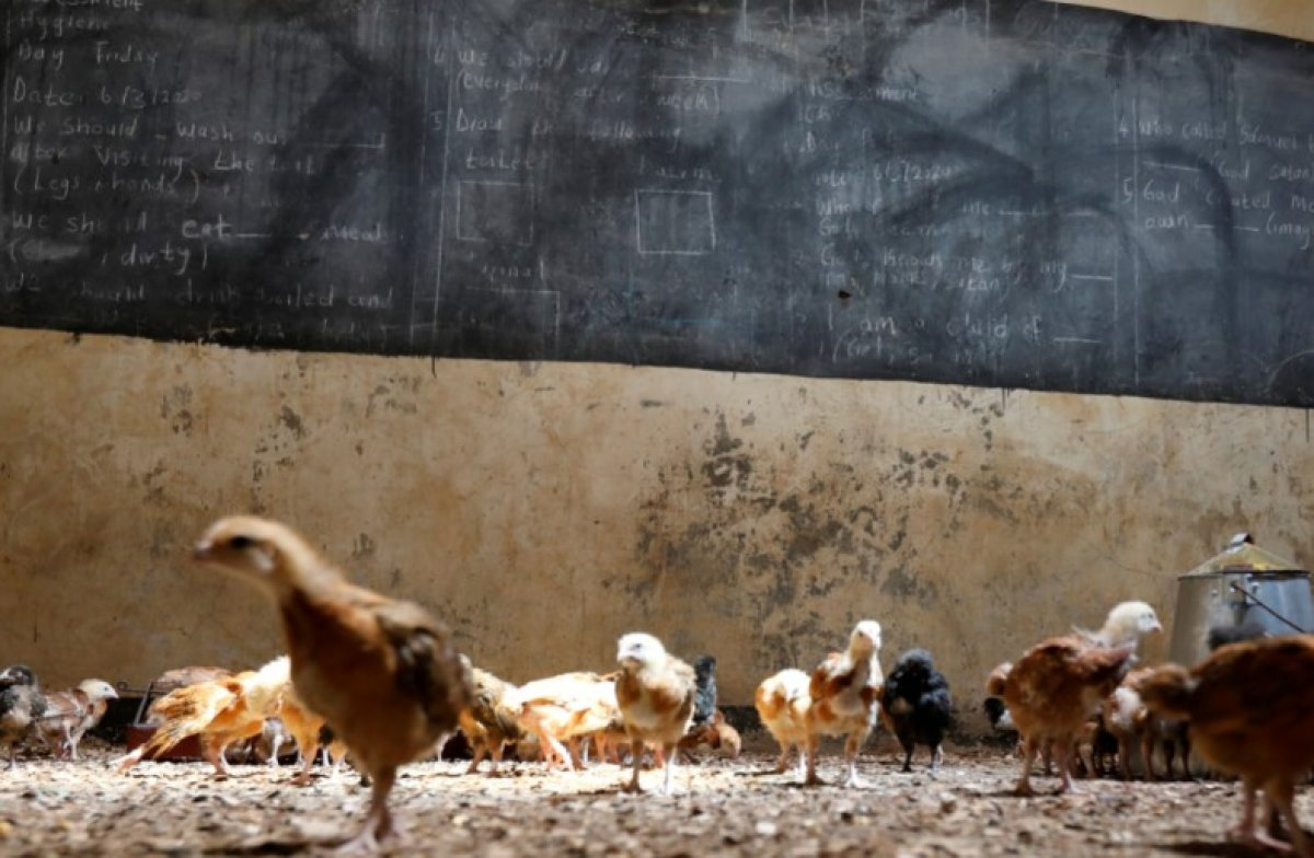 Kenya da sınıflarda öğrencilerin yerini tavuklar aldı #1