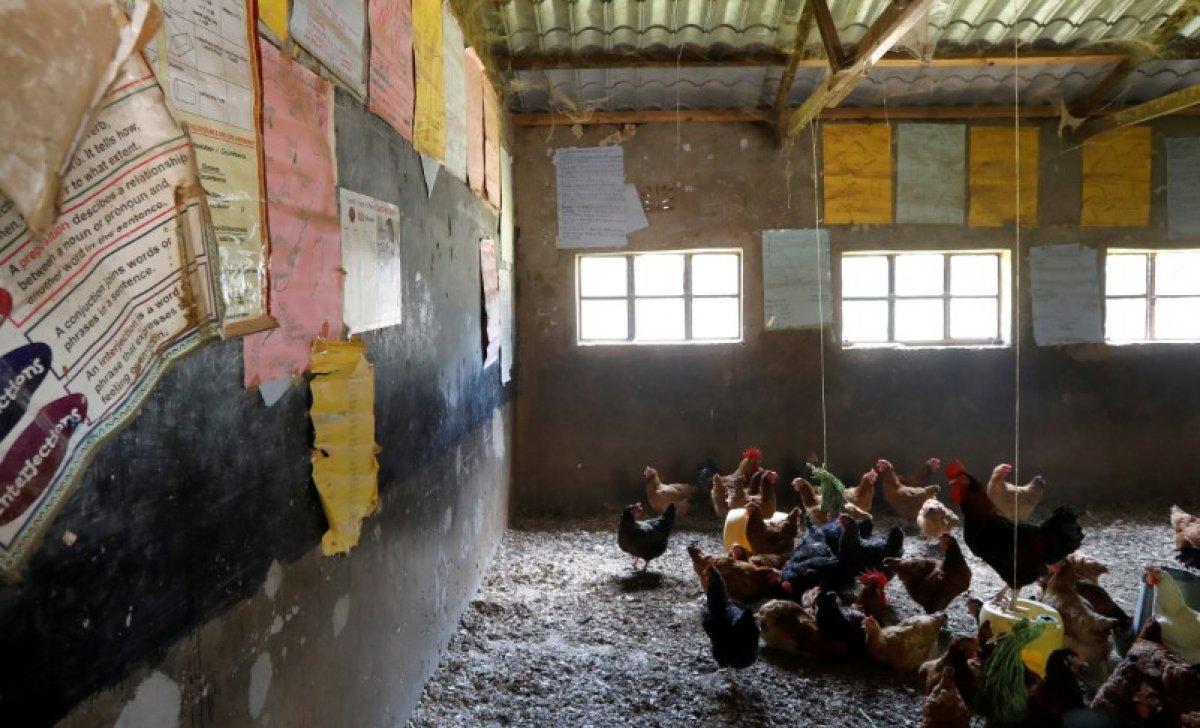 Kenya da sınıflarda öğrencilerin yerini tavuklar aldı #2