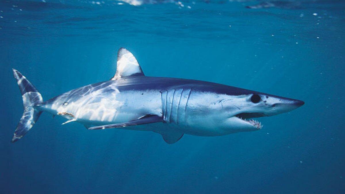 Shark Alives: Aşı için 500 bin köpekbalığı katledilebilir #1