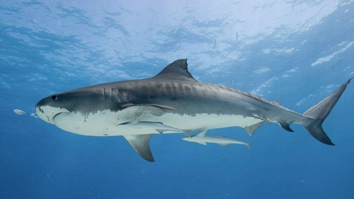 Shark Alives: Aşı için 500 bin köpekbalığı katledilebilir #3