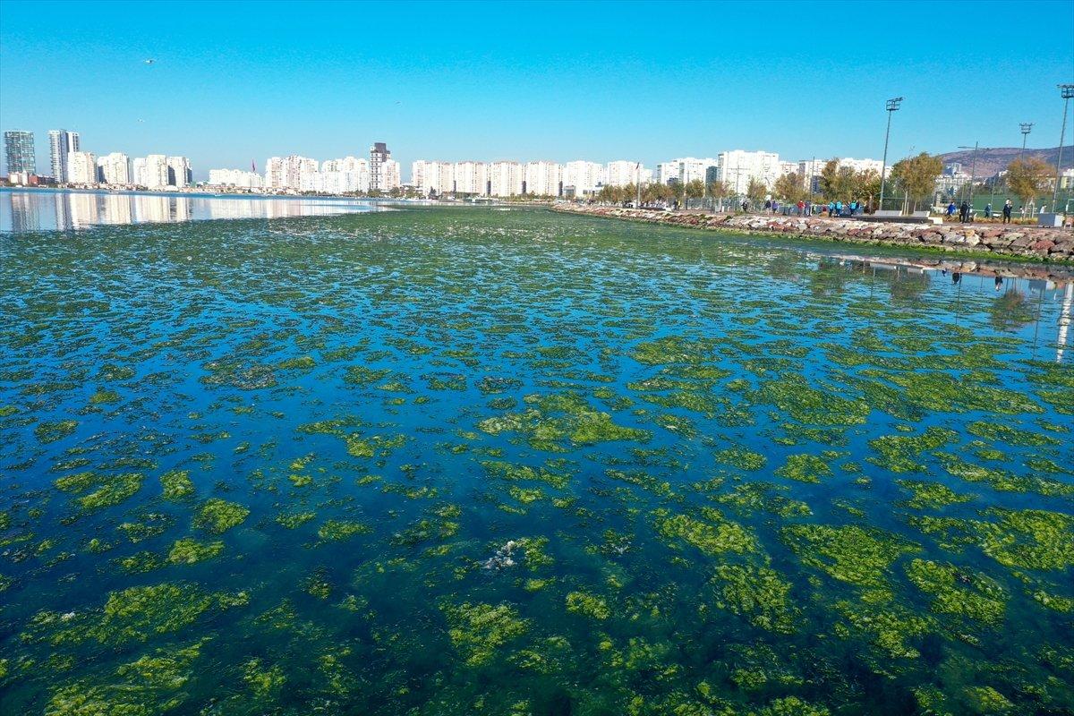 İzmir Körfezi ni yosun sardı #4