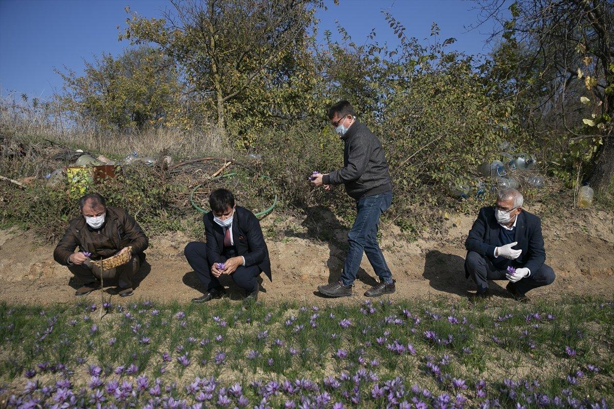 Edirne de safran ikinci kez hasat edildi #1