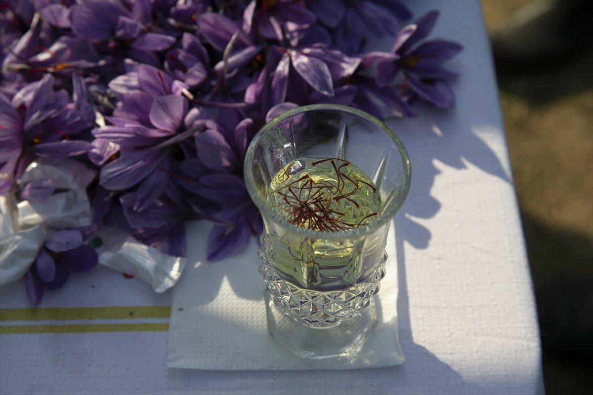 Edirne de safran ikinci kez hasat edildi #2