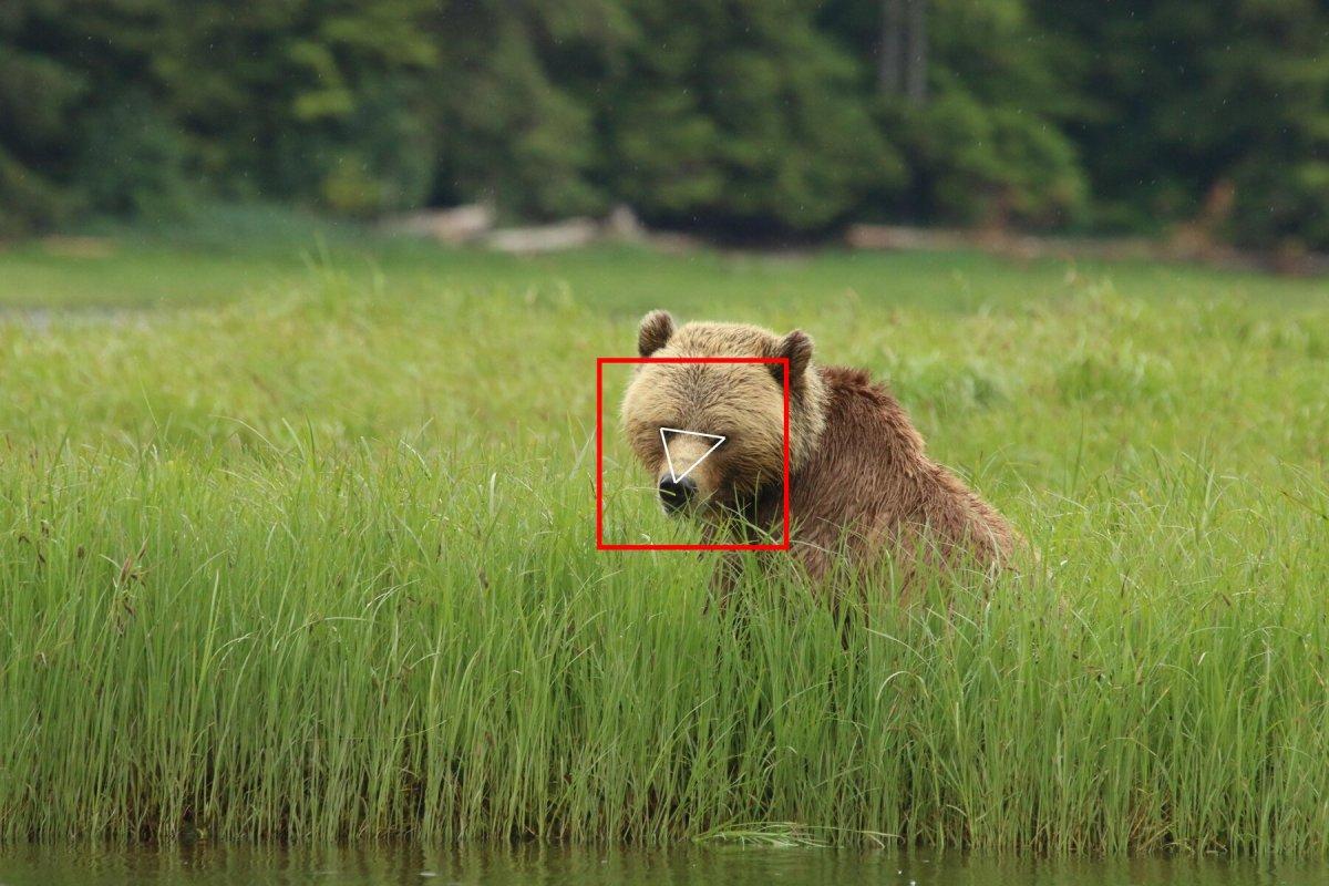 Yüz tanıma teknolojisi ayılara uyarlandı #1