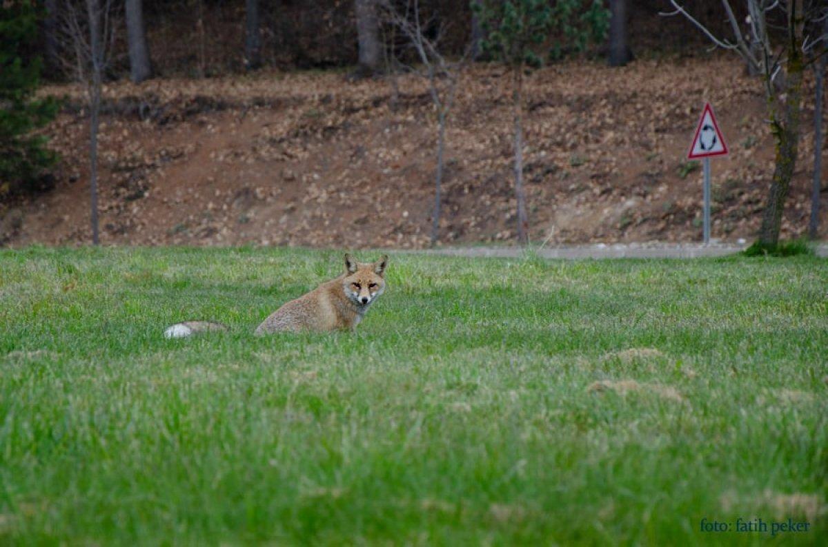 Bolu da üniversite bahçesinde tilki görüldü #2