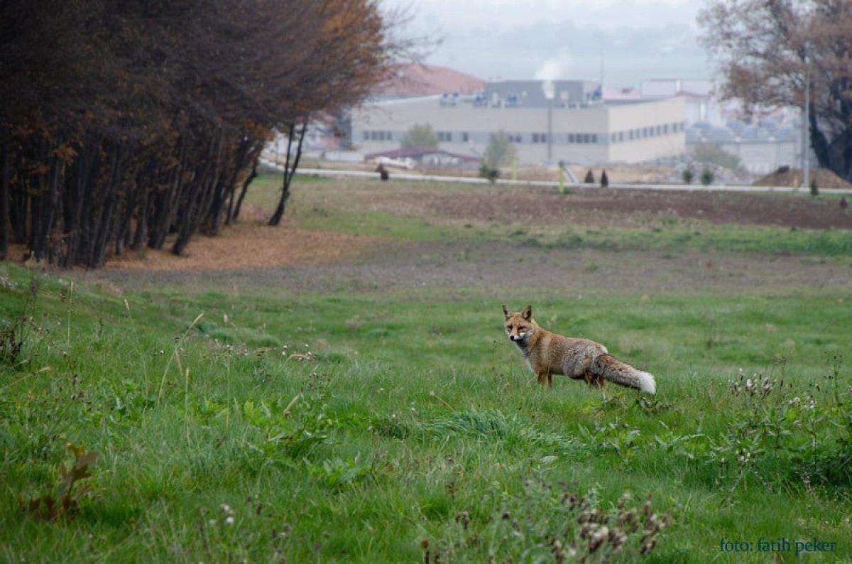 Bolu da üniversite bahçesinde tilki görüldü #1