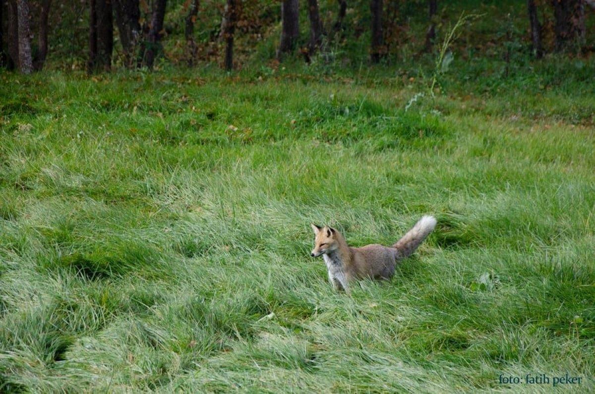 Bolu da üniversite bahçesinde tilki görüldü #3