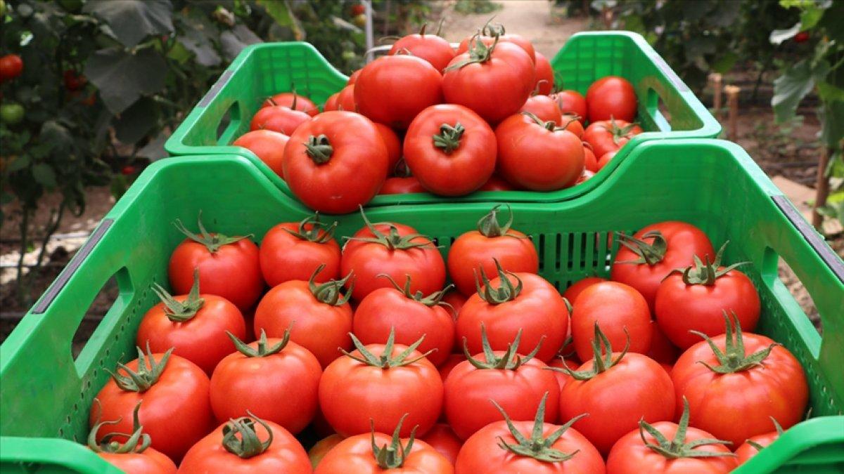 Rusya, Türkiye den aldığı domates kotasını arttırmaya hazırlanıyor #2