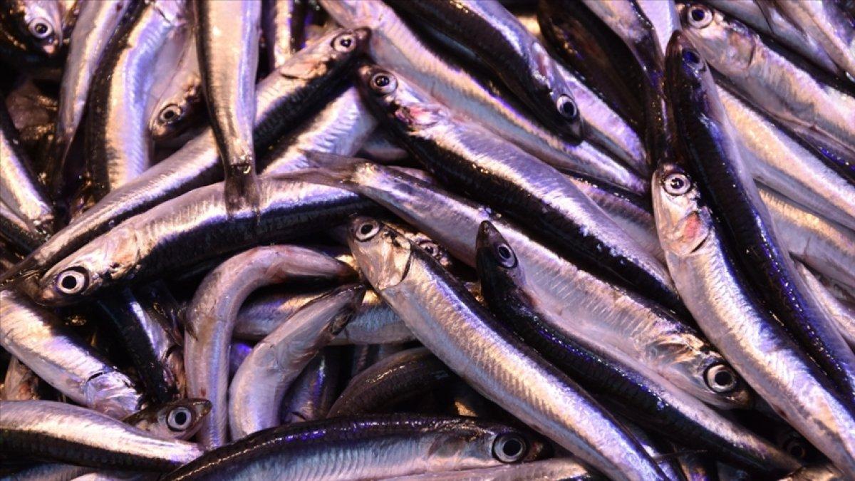 Hamsi avı yasağı, 28 Ocak a uzatıldı #2