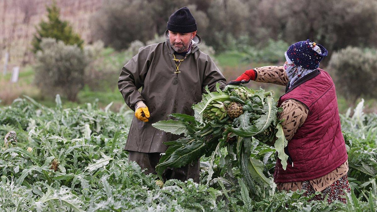 İzmir de enginar hasadına başlandı #1