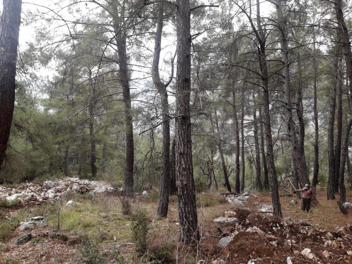 Antalya'da kimliği belirsiz kişiler, 100 yıllık ağaçları köklerinden söktü