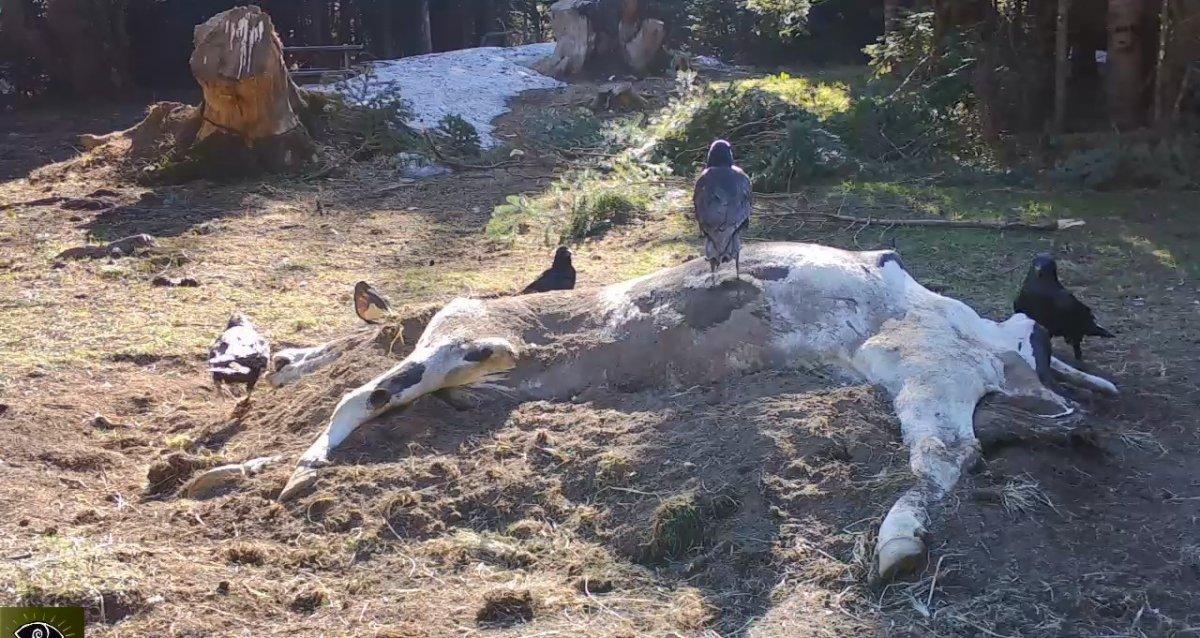 Bursa'da bir çiftçinin ölen ineği yaban hayvanlarına verildi #1