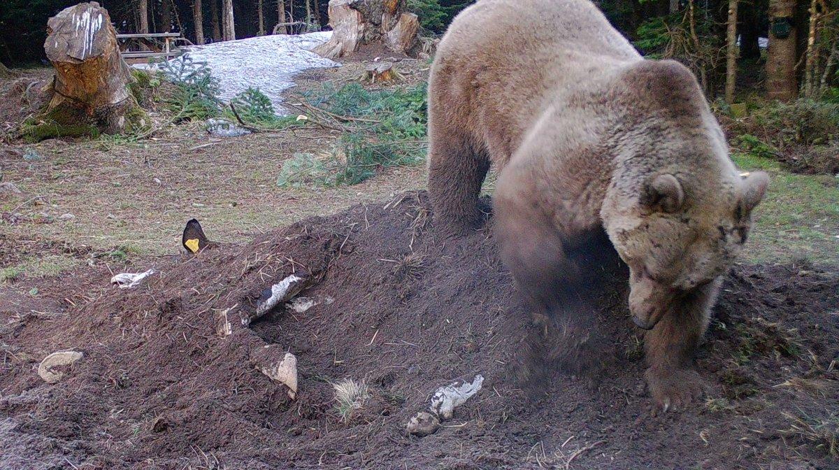 Bursa'da bir çiftçinin ölen ineği yaban hayvanlarına verildi #2