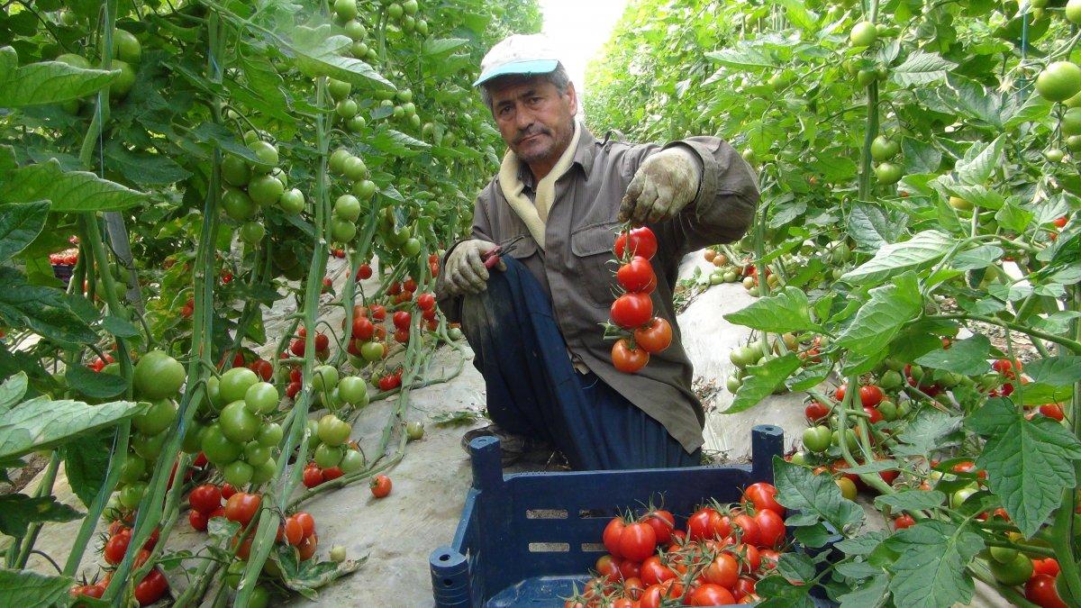 Lokantaların açılmasıyla domatesin kilosu 2 liradan 3.5 liraya çıktı #1