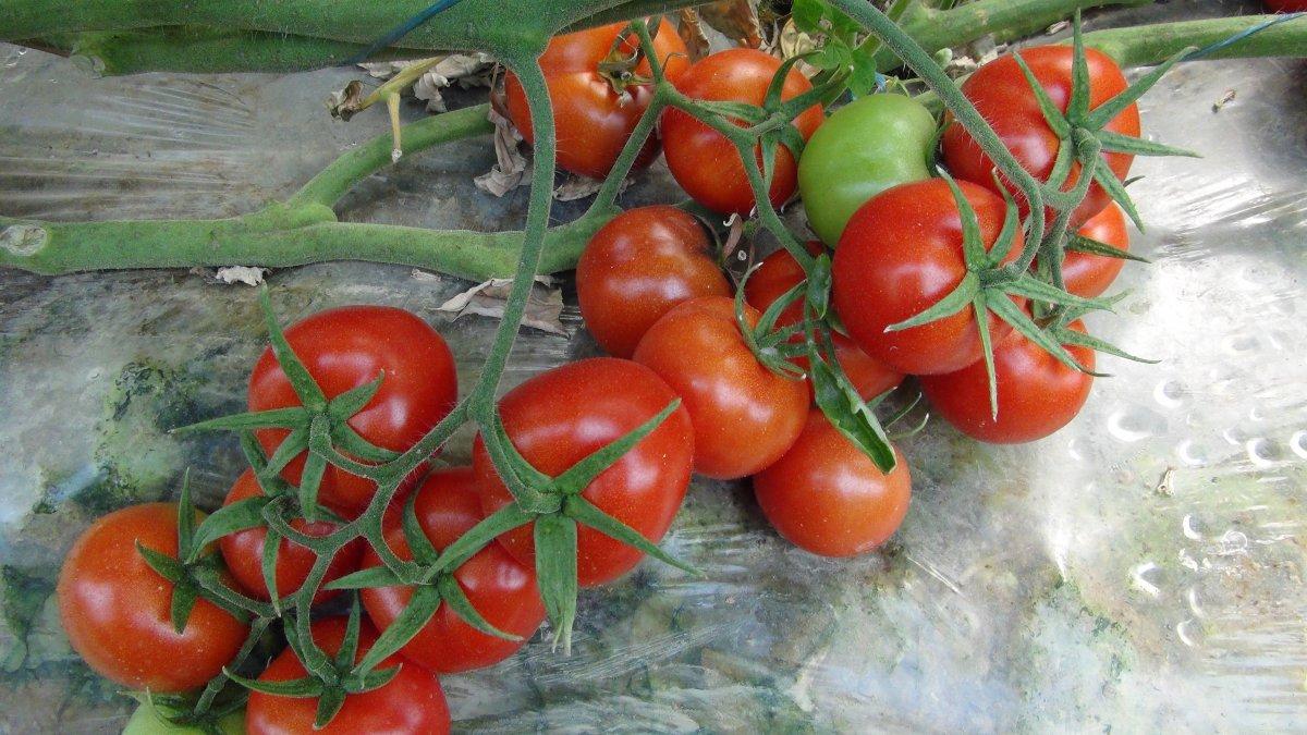Lokantaların açılmasıyla domatesin kilosu 2 liradan 3.5 liraya çıktı #2