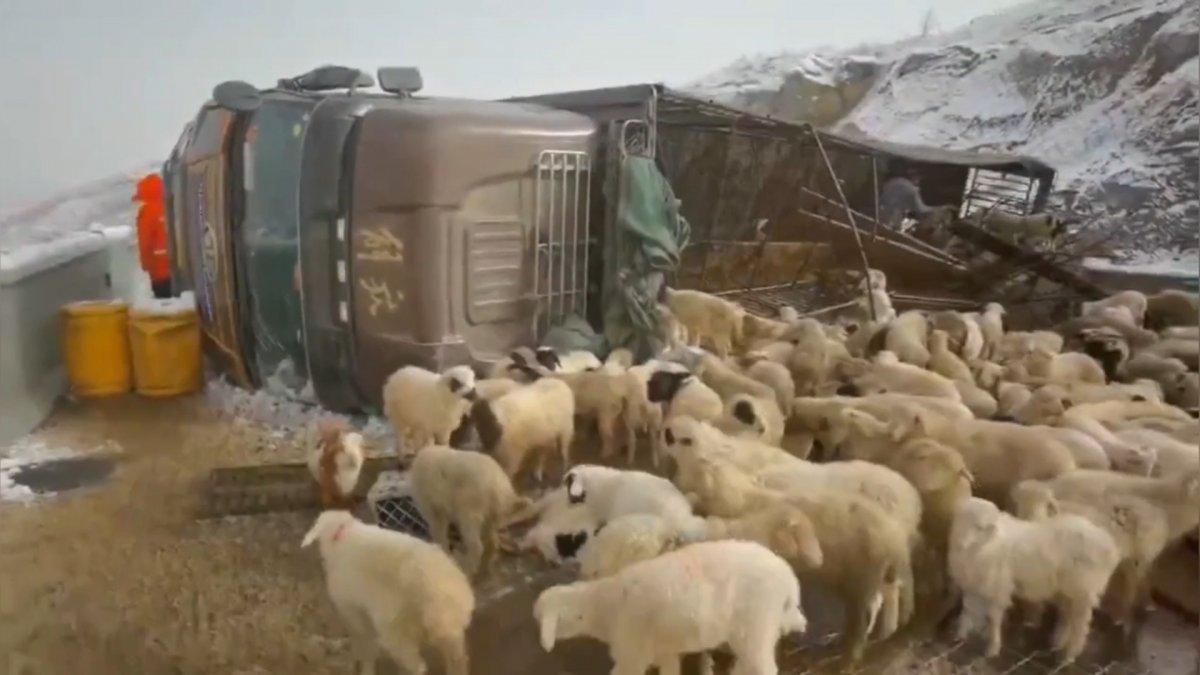Çin'de koyun yüklü kamyon devrildi, 300 koyun öldü #3