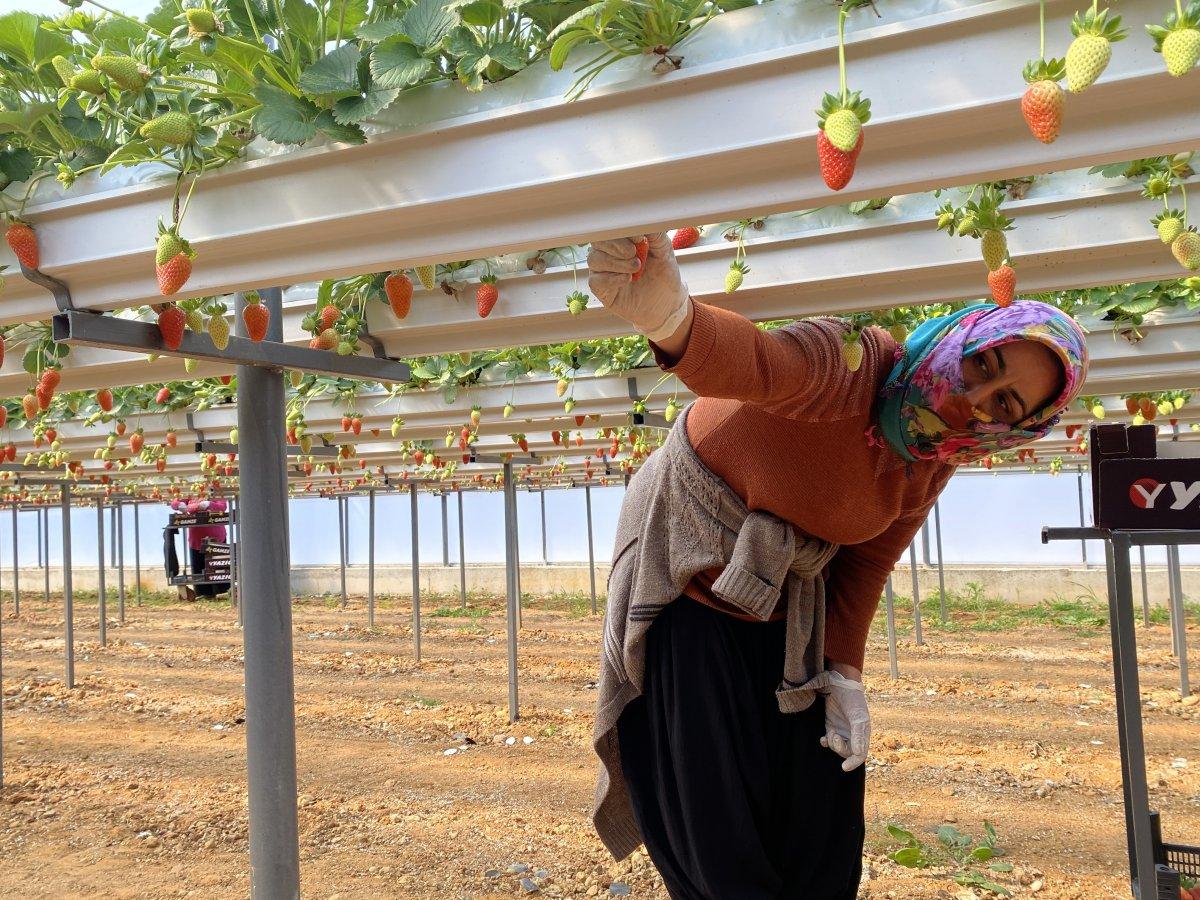 Antalya'da topraksız çilekte hasat bereketi #1
