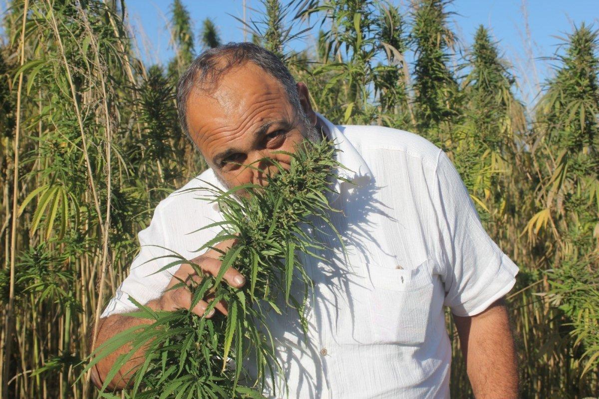 Türkiye nin ilk tescilli yerli ve milli kenevir tohumu: Narlı ve Vezir #1