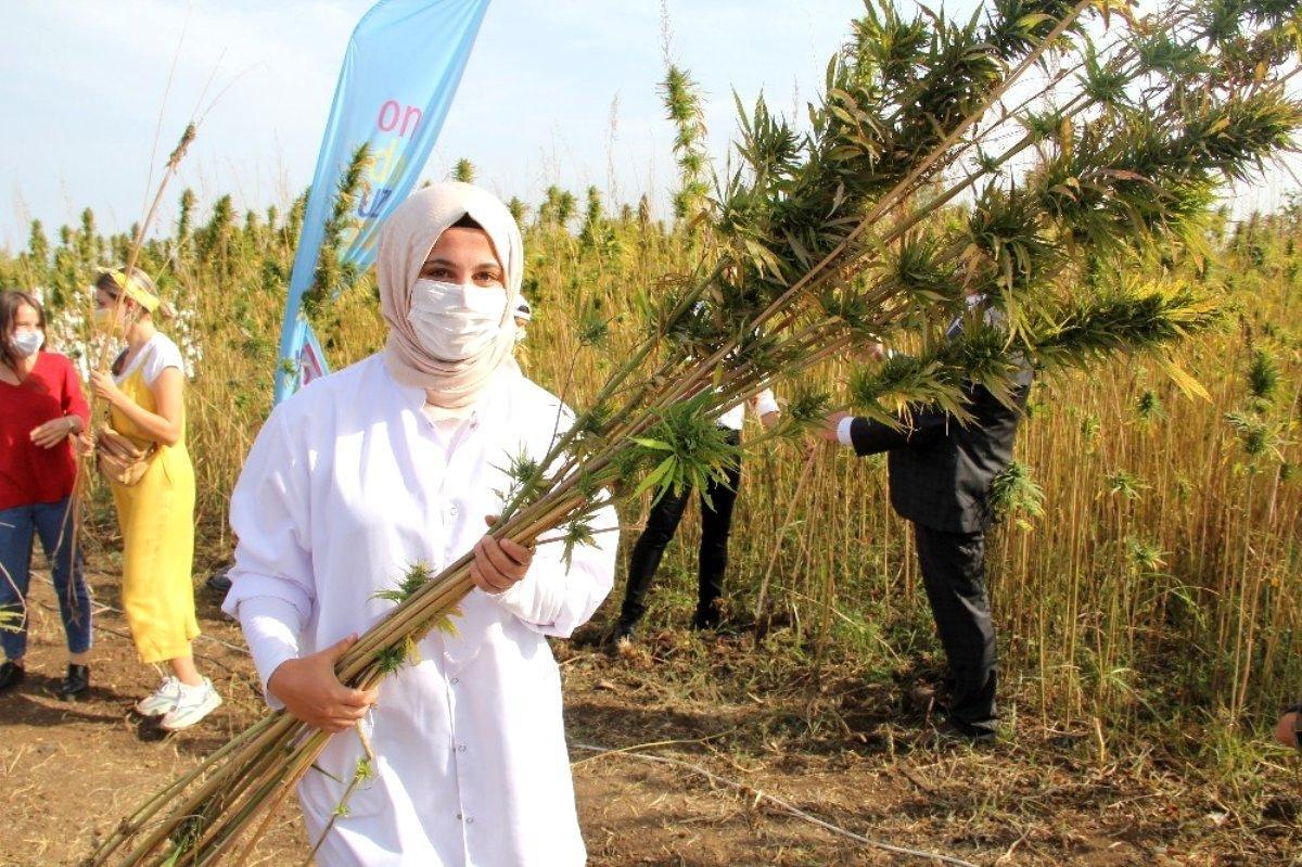 Türkiye nin ilk tescilli yerli ve milli kenevir tohumu: Narlı ve Vezir #4