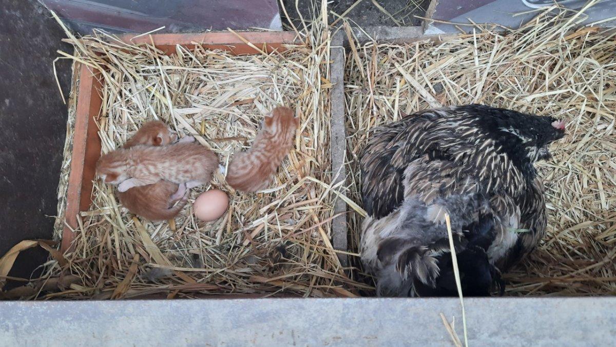 Tavuk, kedi yavrularına annelik yapıyor #2